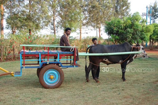 Bullock cart drive