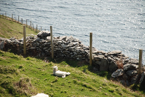 On the sleepy side of Ireland, lambs sun by the sea