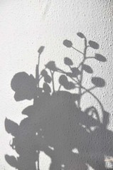 Shades of Shadows (Gali-Dana) Tags: shadow plant orchid jerusalem shade         galidana