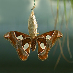 Atlas Moth (njchow82) Tags: brown nature insect wildlife moth boken calgaryzoo worldslargest atlasmoth potofgold inspiredbylove animaladdiction beautifulexpression almostanything worldofanimals macrolife itsazoooutthere naturallymagnificent njchow82 dmcfz35