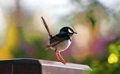 A little Wren (Uhlenhorst) Tags: travel birds animals tiere reisen australia australien vgel 2009 rubyphotographer
