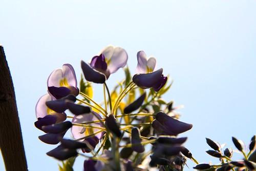 熊野の長藤-Wistaria in Yuya
