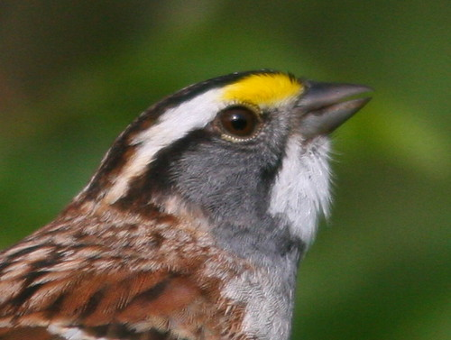 White-throated Sparrow SOOC heavy crop 20100419