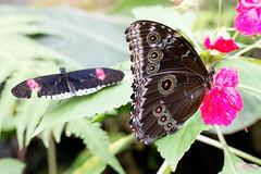 baudchon-baluchon-mindo-papillons-21