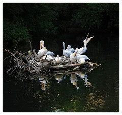 110 (AnkhaiStenn) Tags: bird water pool animal island zoo pond nest russia moscow pelican poultry russian