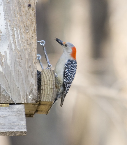 red-bellied woodpecker_3