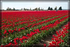 Sea of Reds (Nizam_Jusoh) Tags: flowers garden landscape washington tulips mountvernon skagitvalley tulipfestival redtulips roozengarde yourwonderland