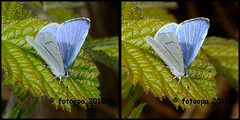fotoopa 20100422_0872 Boomblauwtje - Celastrina argiolus (fotoopa) Tags: macro insect mirror inflight stereoscopic stereophotography 3d crosseye crosseyed insects stereo thuis highspeed threedimensional crossview flyingobjects celastrinaargiolus boomblauwtje 3dmacro dagvlinder highspeedmacro stereodatamaker fotoopa frontmirror dslrstereo frontsidemirror 3dinsects 3dinflight diylaser crosseyedphotography