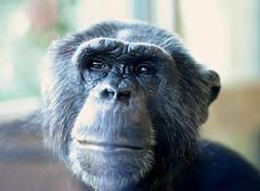 senior - berlin (jhber) Tags: old berlin germany deutschland grey zoo chimp alt grau schimpanse jhber 02042010ber