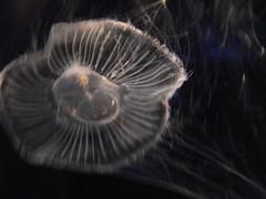 大阪 海遊館 jellyfish 20100411