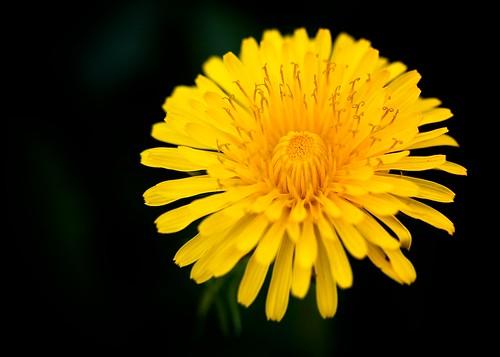 [フリー画像] 花・植物, キク科, タンポポ, 黄色の花, 201004300700