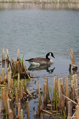 Matthei Botanical Garden (beckstei) Tags: park macro bird nature annarbor goose utata canadiangoose botanicalgarden matthei