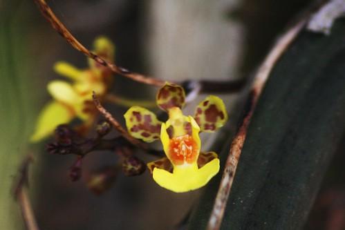 Oncidium Orchid in the orange trees