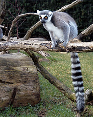 """Ring Tailed Lemur-M • <a style=""""font-size:0.8em;"""" href=""""http://www.flickr.com/photos/49635346@N02/4557897016/"""" target=""""_blank"""">View on Flickr</a>"""