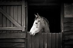 Stable door (paul indigo) Tags: wood portrait horse head stable