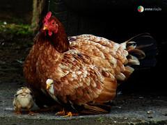 MATRIARCA (Juh.ninho) Tags: cores de galinha natureza arena fotografia animais pássaros criação pintinhos juhninho
