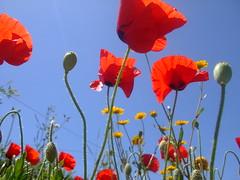Lindas com azul do céu como cenário (Irene Sarranheira) Tags: flores sexy primavera sol de amor carinho dia lindo poppies musica verão fotografia dança doces vento nascer lembranças papoilas vermelhas passoapasso flickraward
