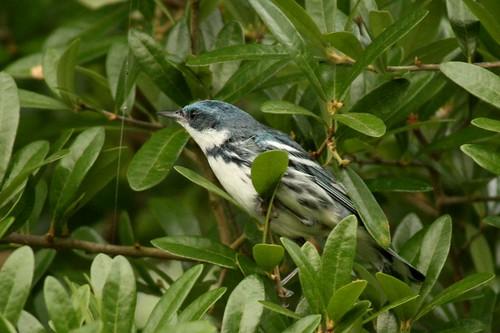 Cerulean Warbler - 4/30/2010