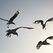 Red Bill Seagulls