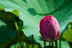 Lotus (ToddinNantou) Tags: flower nikon lotus taiwan     nantou d90 nelumbonucifera 55200vr jhongsingvillage