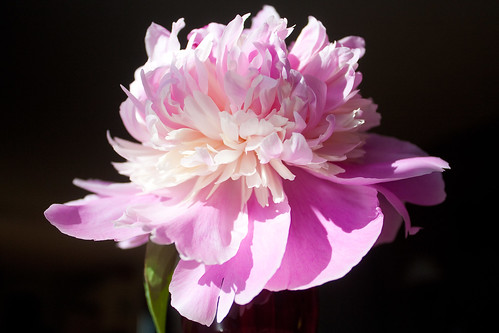 A Peony For Your Thoughts