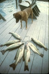 Dog With Fish (ricko) Tags: old dog fish film dock bass scan 1984 squirt stringer 35mmslide tablerocklake thelittledoglaughed