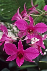 80004247 (wolfgangkaehler) Tags: pink flowers orchid flower colorful orchids blossom vibrant blossoms exotic tropical tropicalflowers dendrobiumorchid dendrobiumphalaenopsis flowerbloom flowerblossom