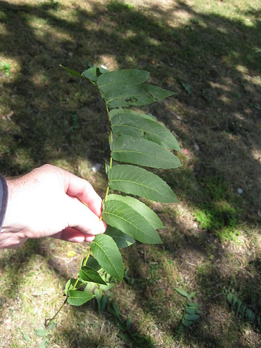 black walnut or butternut leaf