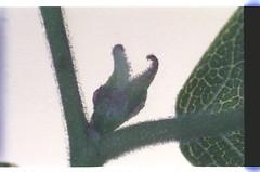 1   080927-1598-010300 (h35312) Tags: 1  zelkova makino serrata ulmaceae thunb urticales        0809271598010300