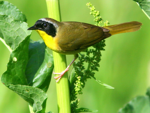 Common Yellowthroat 2-20100518