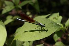 新治市民の森のオオカワトンボ(Dragonfly at Niiharu Community Woods, Japan)