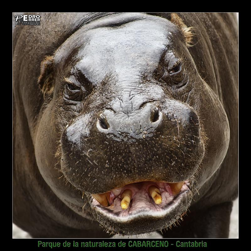 Cabárceno - Hipopótamo enano - conozco a alguien que se parece bastante....