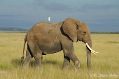 Elephant in Amboseli (sbailliez) Tags: elephant kenya egret africanelephant amboseli cattleegret symbiosis loxodontaafricana commensalism africanbushelephant ibiscusibis