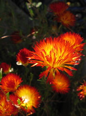 Drosanthemum bicolor 'Dew Flower""