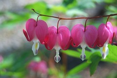 """""""Sadness is but a wall between two gardens"""" (mimicapecod) Tags: flowers nature hearts pinkflowers bleedinghearts fantasticflower anawesomeshot theunforgettablepictures theunforgettablepicture flickrsfantasticflowers"""