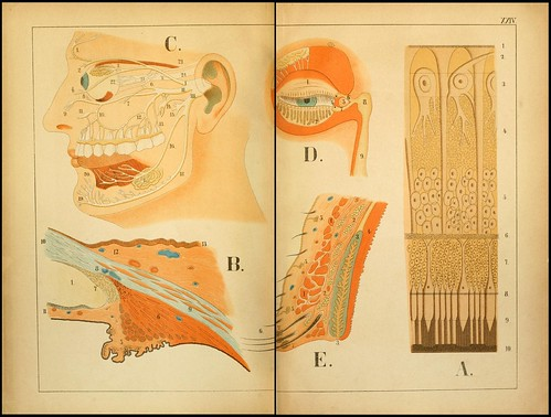 An atlas of Anatomy (FF Miller, 1879) i