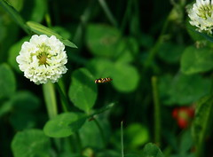 Heading For The Clover (carolesong) Tags: bee pa wildstrawberry elverson cloverblossom