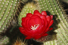 The Trouble With Red (jhaskellus) Tags: red arizona cactus flower phoenix garden botanical desert blossom sonoran botanicalgarden desertbotanicalgarden cactusflower dbg jhaskellus jhaskell jackhaskell earthnaturelife