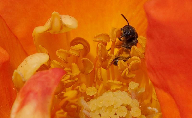 Feasting Bee