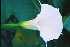 A Datura flower
