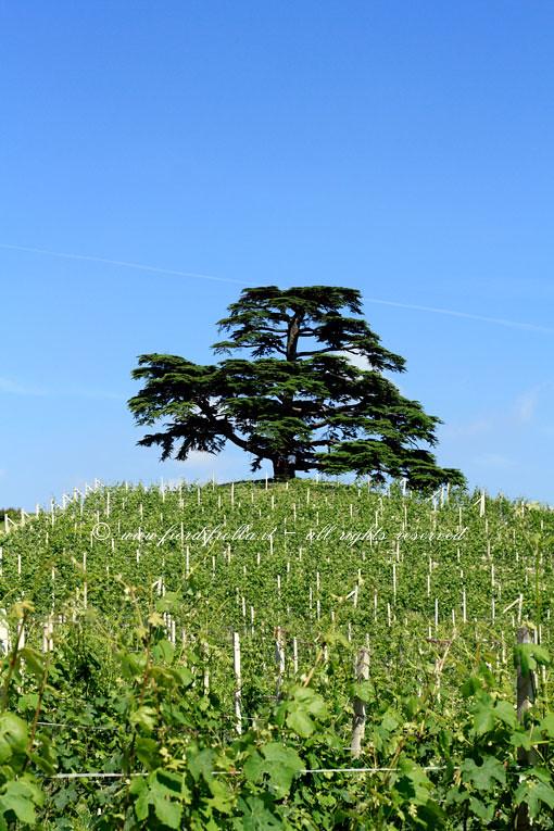Cedro del Libano della Tenuta Monfalletto