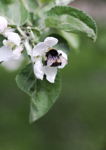 Apple Trees -4