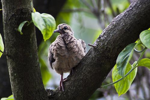 Baby Dove II