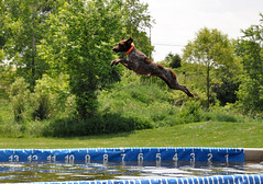 151 Flyin' Bailey (The_Little_GSP) Tags: dog dogs dock pointer shorthair germanshorthair gsp germanshorthairedpointer germanshorthairpointer dockdogs dogjump delmarvadockdogs thelittlegsp littlegspphotography claysbarkinthepark