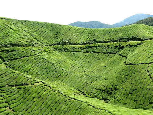 [フリー画像] 自然・風景, 田畑, お茶, グリーン, マレーシア, 201006121900