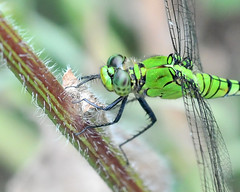 Female Eastern Pondhawk (jwinfred) Tags: macro nature mississippi insects delta cypress preserve greenville
