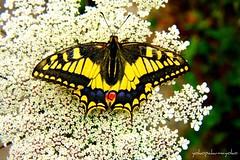 MACAONE..Papilio machaon-Farfalle di Sardegna (yokopakumayoko) Tags: sardegna butterflies mariposas colori borboletas  farfalle nuoro papiliomachaon macaone  baronia   irgoli floradellasardegna farfallediyokopakumayoko farfalledisardegna yokopakumayoko farfalleinsardegna farfalledifrancoconcu yokopakumayoko mariposabutterflyfarfallaborboletapapillon sardegnafarfalle farfallemacaonesuifiori peregrino27macro lasardegnaelesuefarfalle lefarfalledifrancoconcu