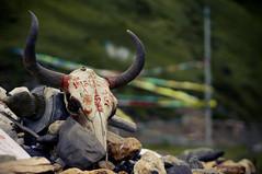 The sacred skull (Gotama2.0) Tags: china skull asia pentax crane flag prayer buddhism tibet holy asie sichuan scripture chine prayerflag bouddhisme tagong drapeaux priere k20d drapeauxaprieres