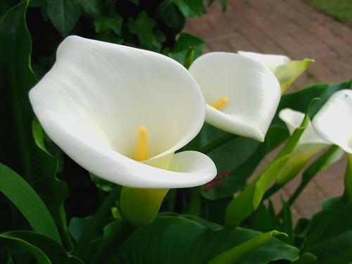 white flower green closeup garden lily calla bokeh petal arum zantedeschia aethiopica mygearandmepremium mygearandmebronze mygearandmesilver mygearandmegold mygearandmeplatinum mygearandmediamond