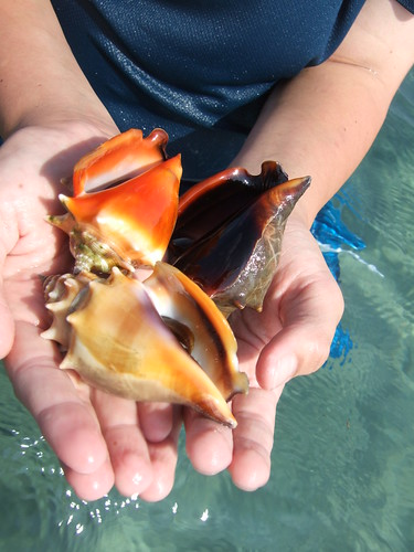 Fighting Conchs